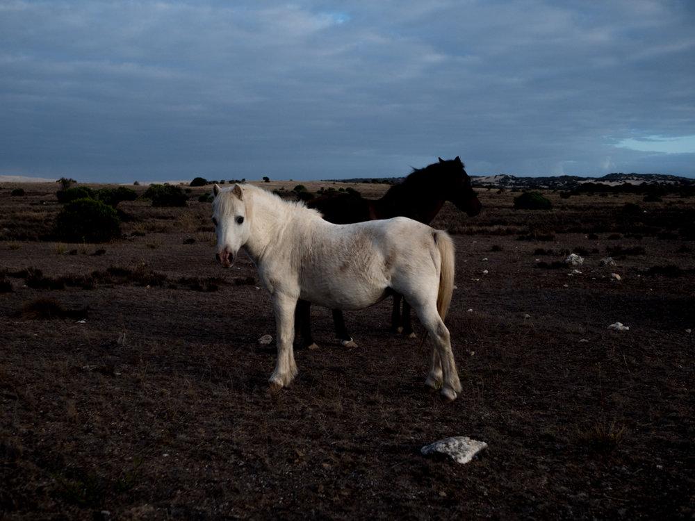 Brumby Horses