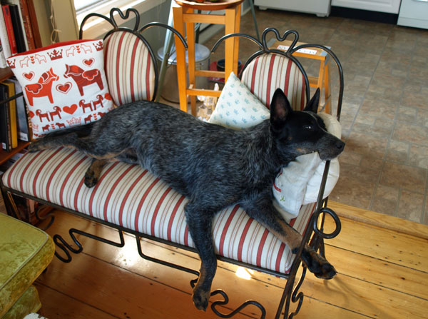 Someone decided his new favorite spot is the upholstered metal bench I made a few years back, AFTER I thought I've been quite clear that this behavior is not allowed. My baker came home to this scene and snapped a photo for me as proof… (as if the dog hair weren't enough.)
