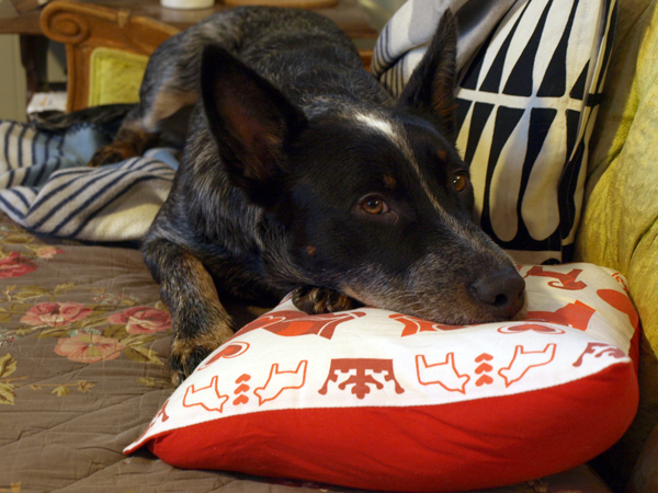 Radio, curled up with his favorite pillow.