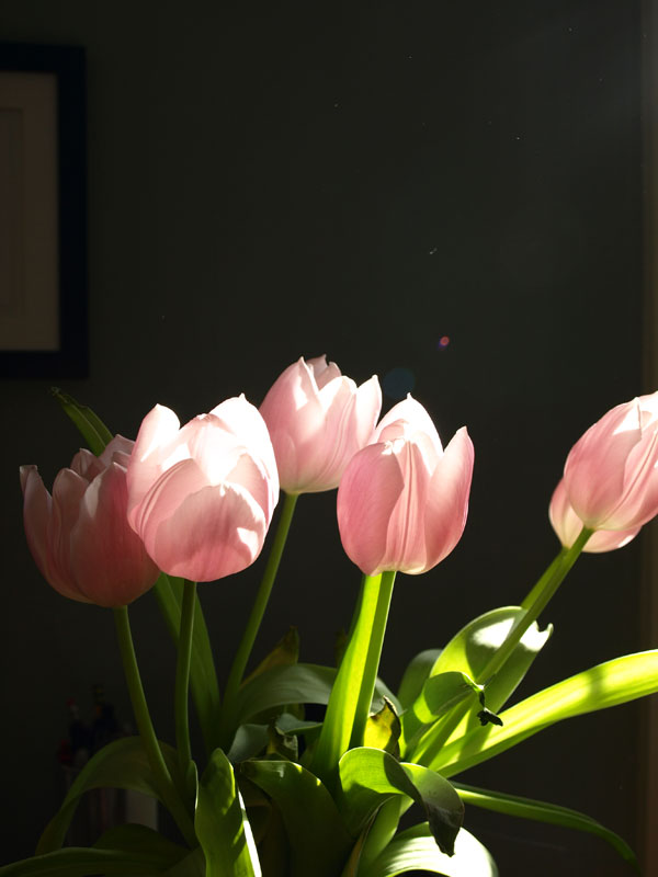 Enjoying the last of the Easter tulips, as they enjoy the sunshine….