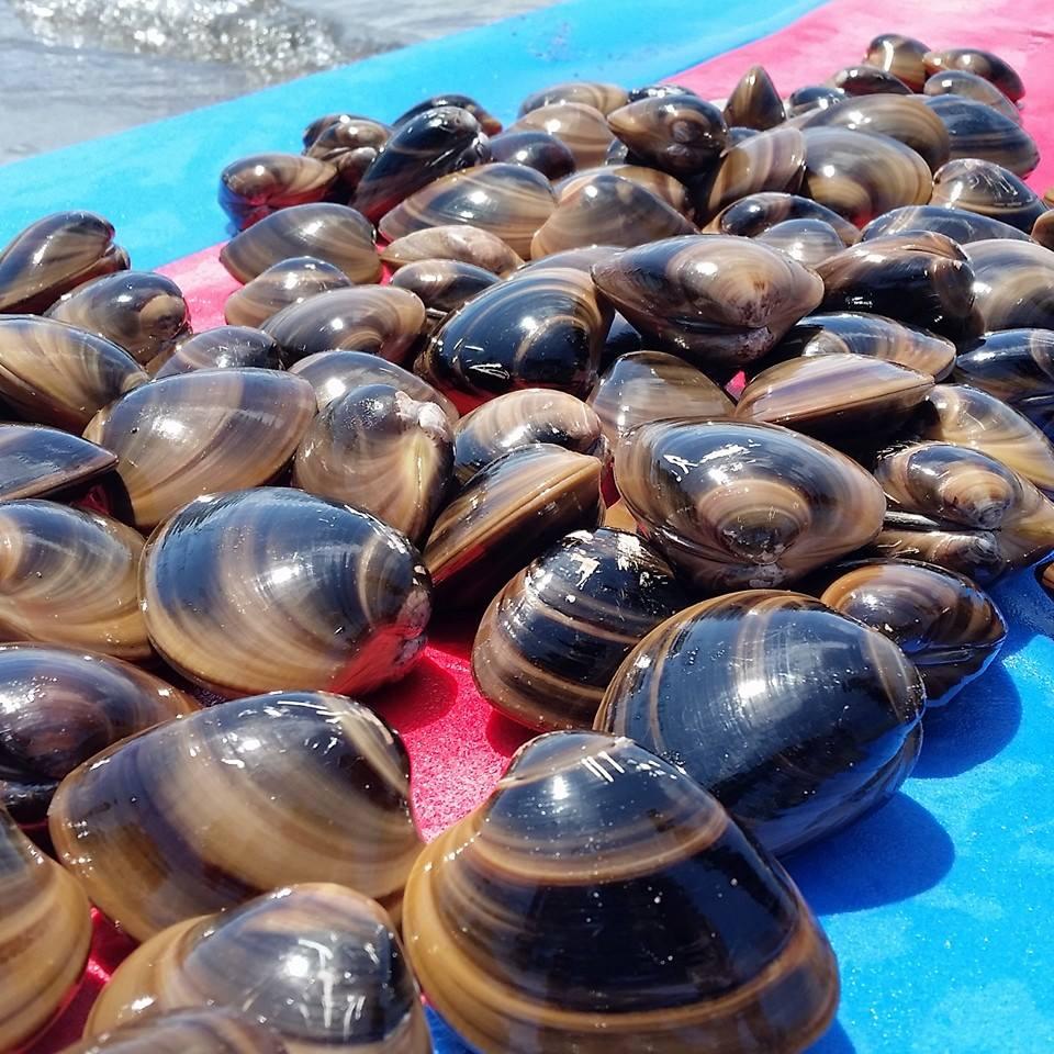 chocolate clams