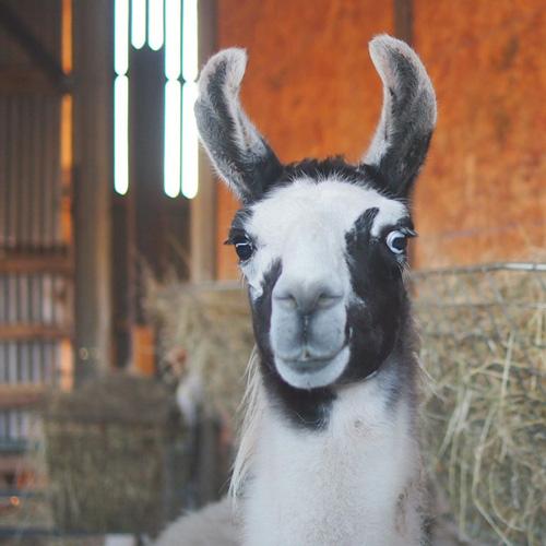 llama love copy