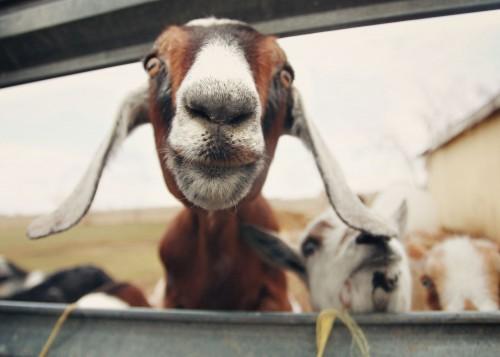 Goatie Face