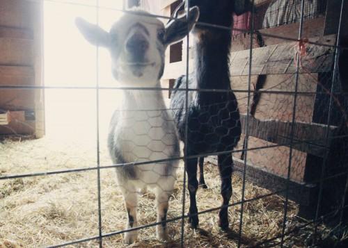 sunshine goats