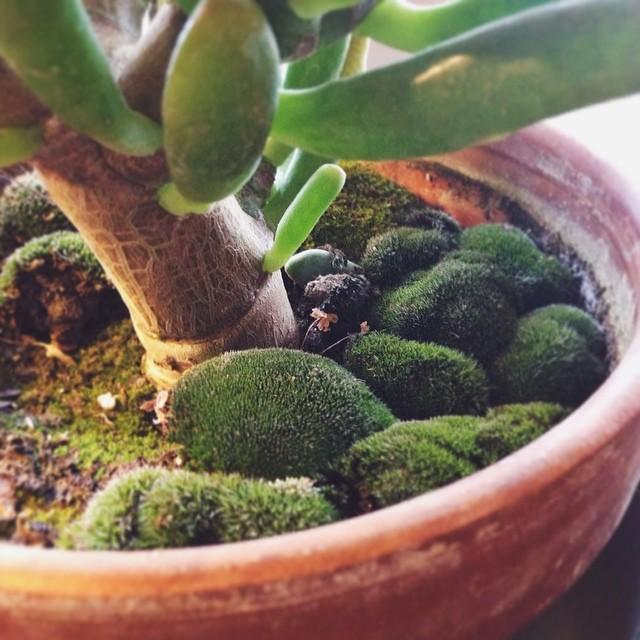 mossy succulent.jpg