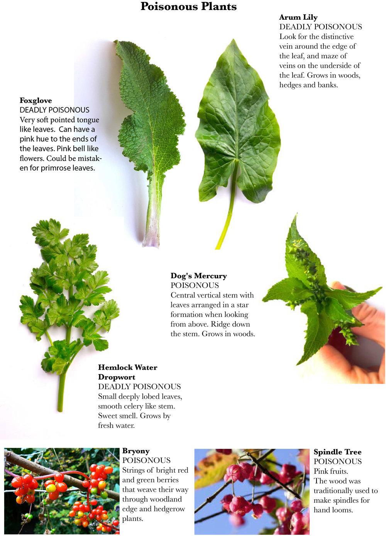Edible wild plants - Spring4.jpg