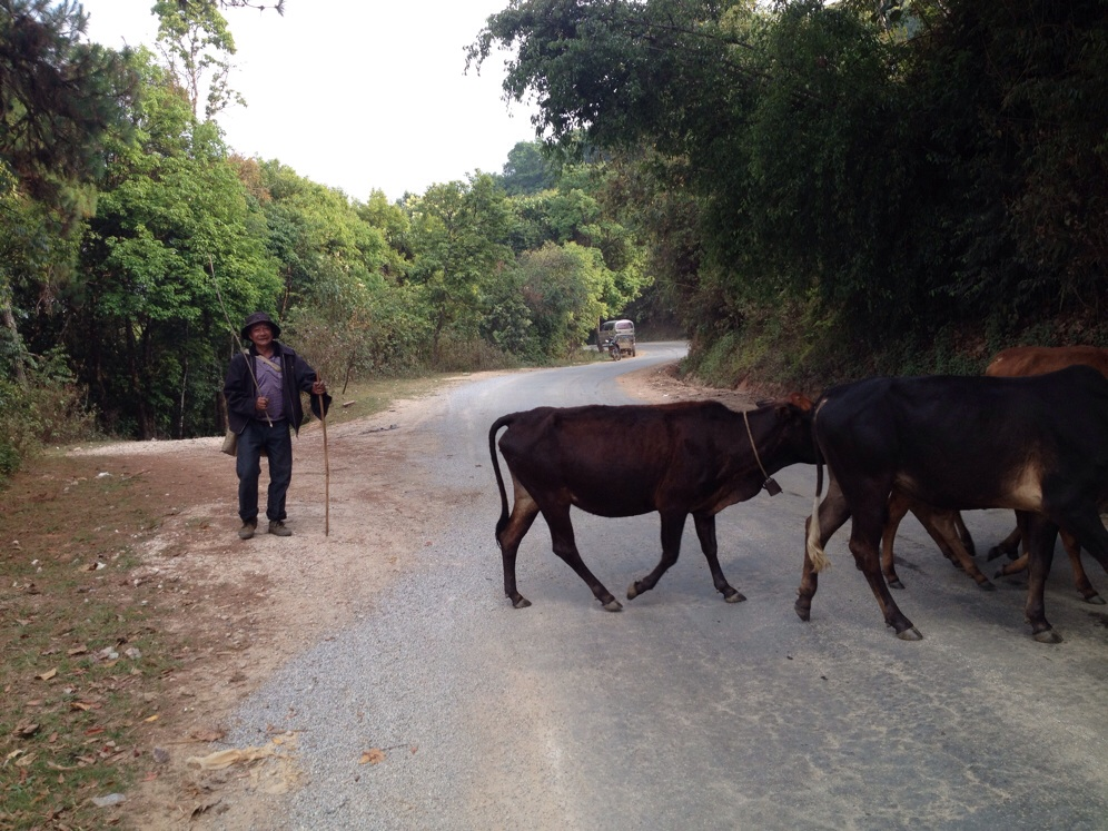 Crossing paths with a local and his cows on our way to Zhenglang