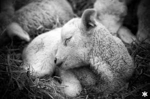 A Lamb Sleeping