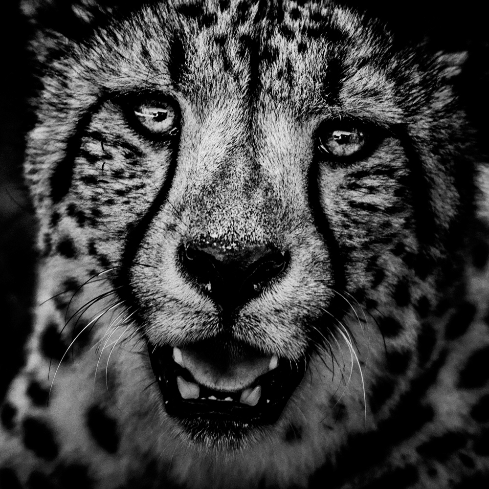 Cheetah portrait, Kenya 2013, Photo © Laurent Baheux,  www.laurentbaheux.com