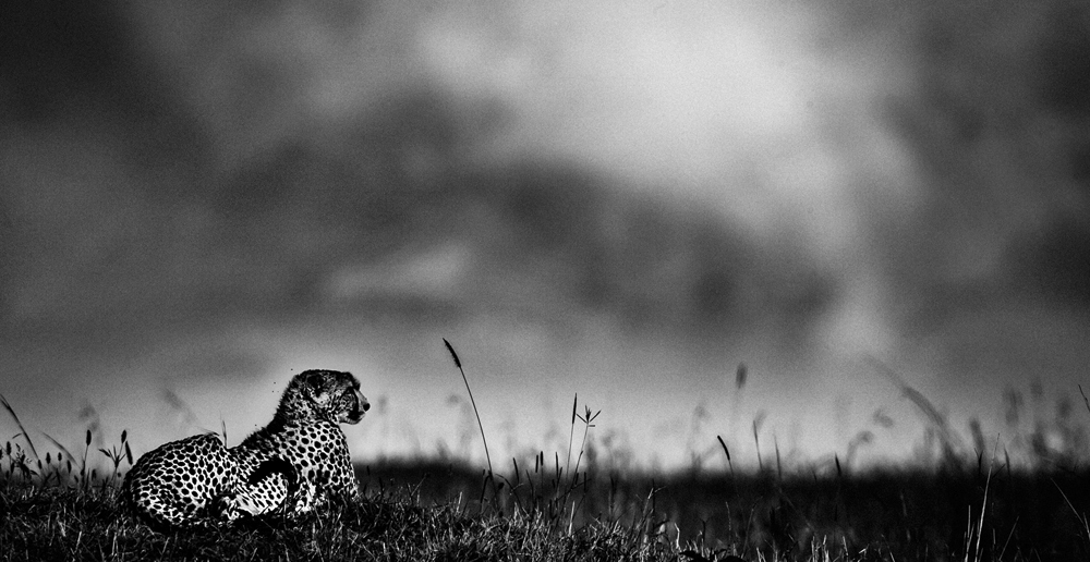 Cheetah, Kenya 2006, Photo © Laurent Baheux, www.laurentbaheux.com
