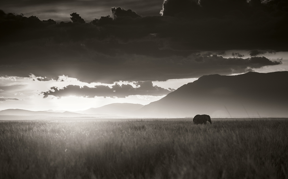 Elephant walking through tall grass in sunset, Amboseli National Park, Kenya 2017  Photo © 2017 Joachim Schmeisser. All rights reserved.  www.joachimschmeisser.com