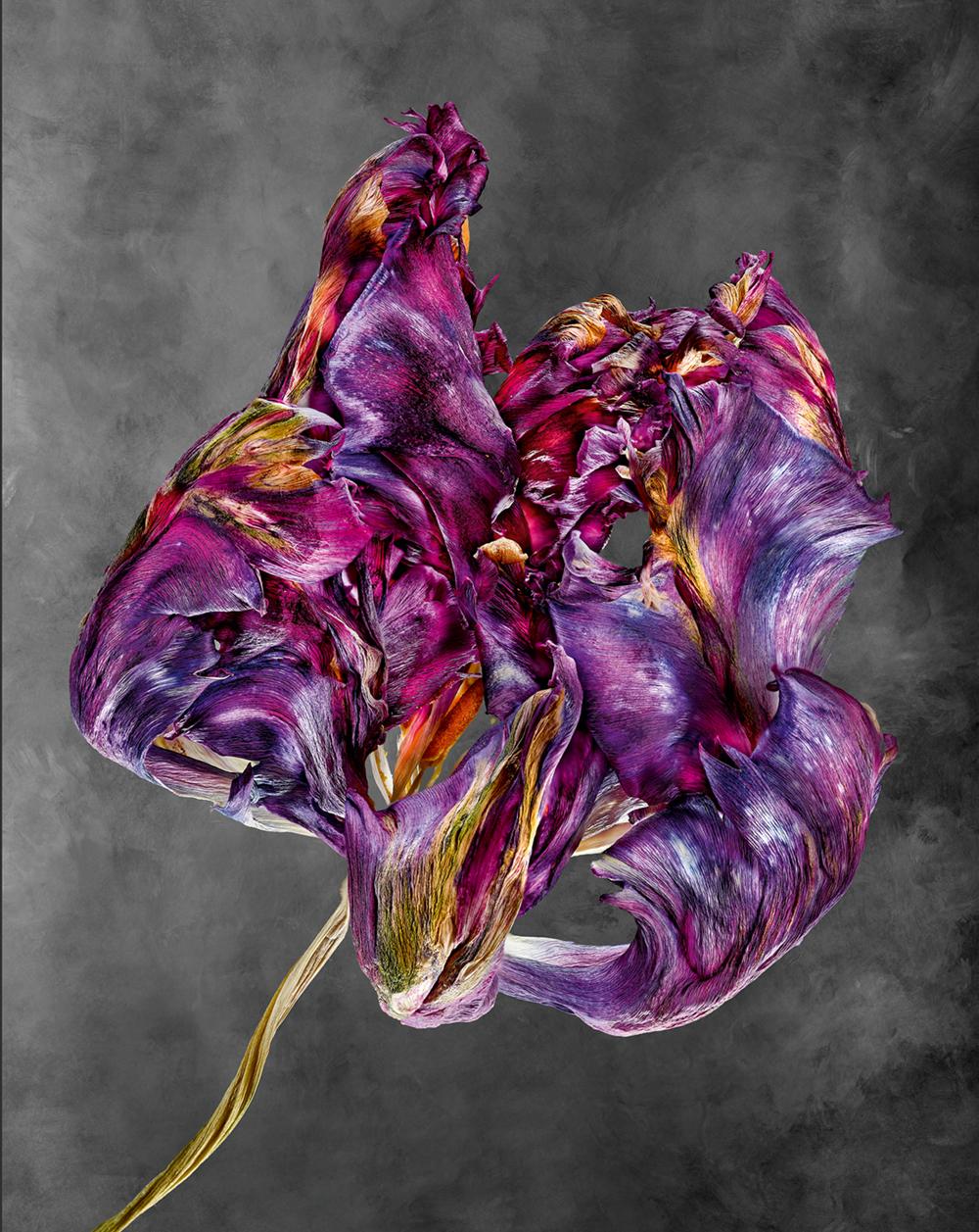 Tulipa  Photo © 2018 Richard Fischer. All rights reserved. www.richardfischer.org