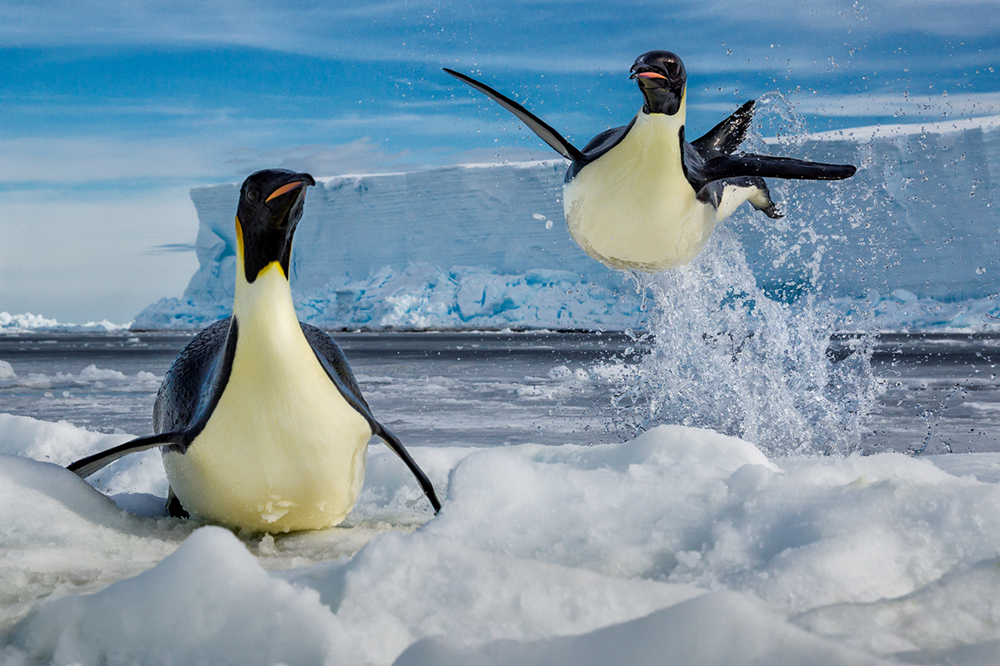Leap of Faith,  Ross Sea, Antarctica Photo © 2018 Paul Nicklen. All rights reserved.  www.sealegacy.org