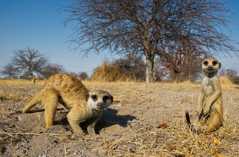 Meercats, Makgadikgadi Pans, Botswana  Photo © 2018 Michael Poliza.All rights reserved. www.michaelpoliza.com