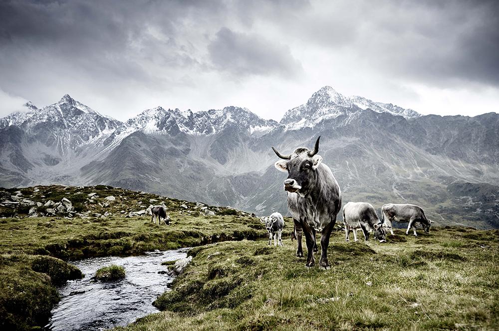 Tiroler Grauvieh, Osttirol, Österreich  © Werner Lampert GmbH, Photo Ramona Waldner