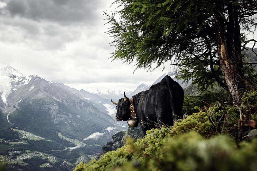 Eringer, Wallis, Schweiz  © Werner Lampert GmbH, Photo Ramona Waldner