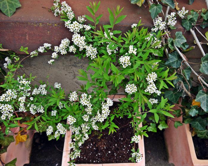 Weisse+Blumen.jpg