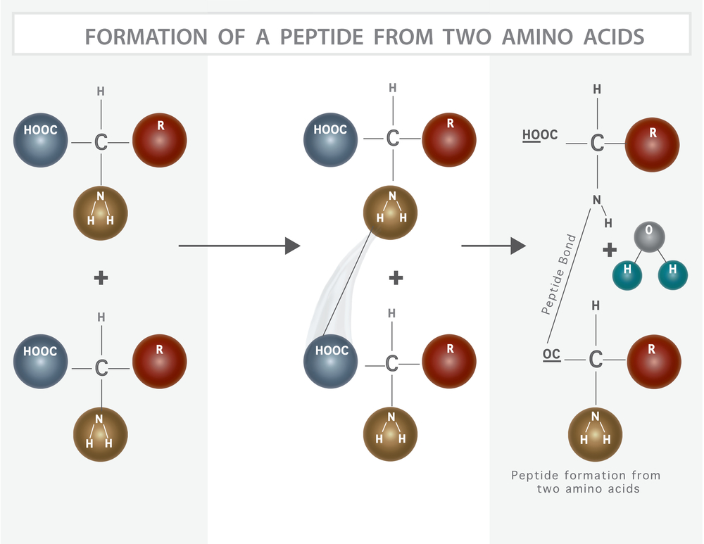 Formation of a peptide from two amino acids