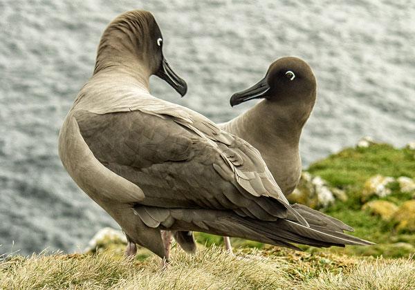 Sooty Albatross Pair Enderby island