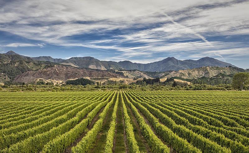 Vineyard near Blenheim S.I NZ