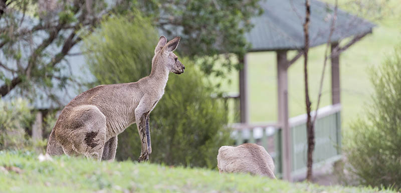 Kangaroo QSD