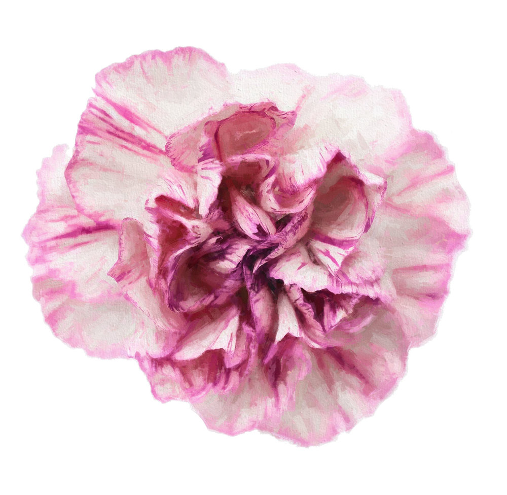 Pink Carnation.jpg