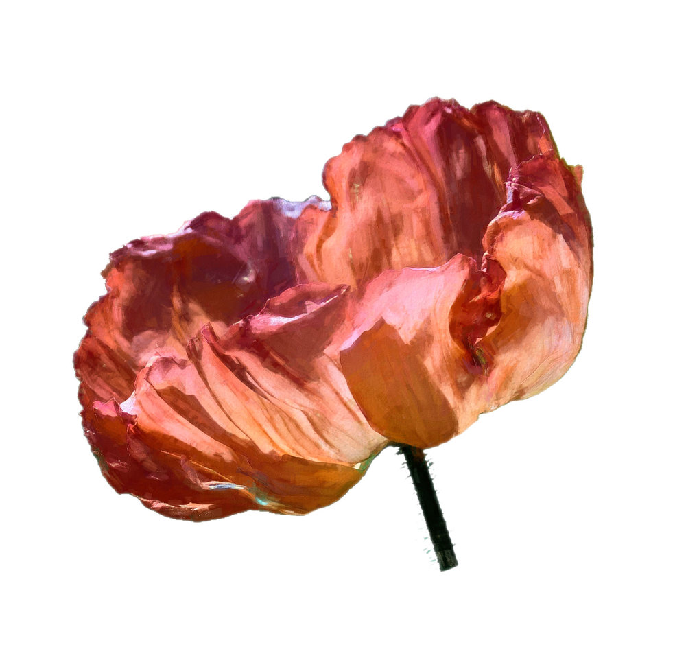 Side Icelandic Poppy.jpg