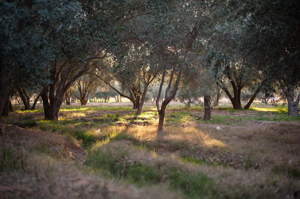#3 - A grove of olive trees in Outat El Haj.