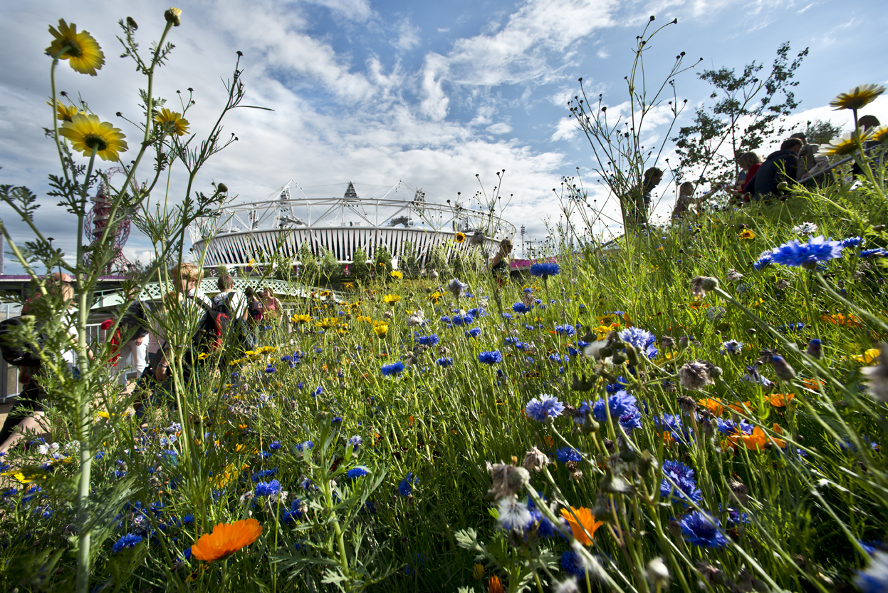 Wild Flower Meadows in the Olympic Park