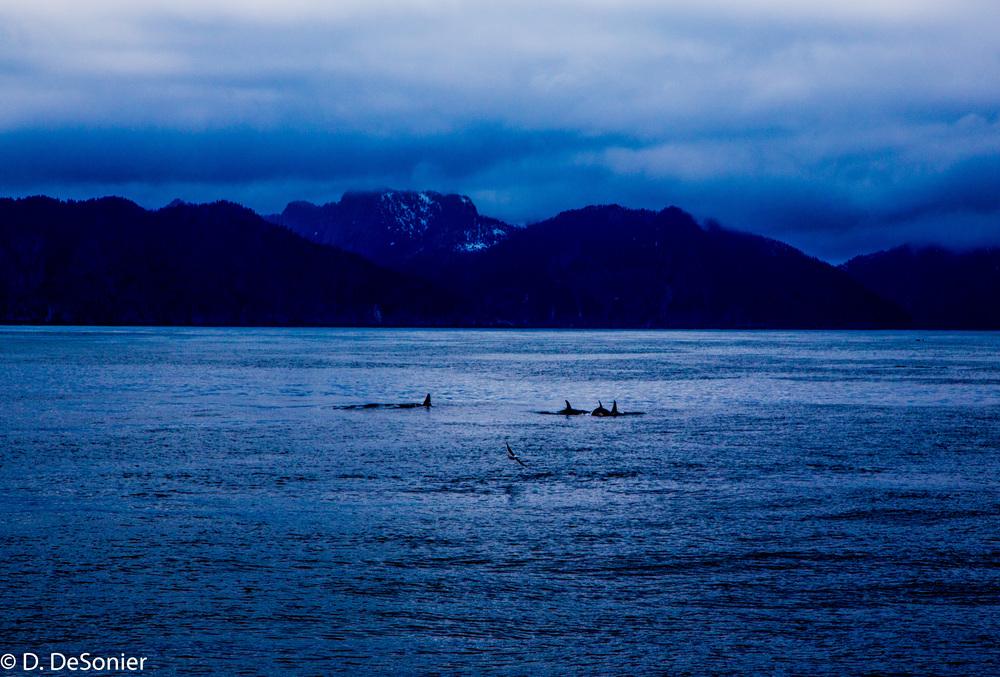 Orcas in Resurrection Bay, Alaska