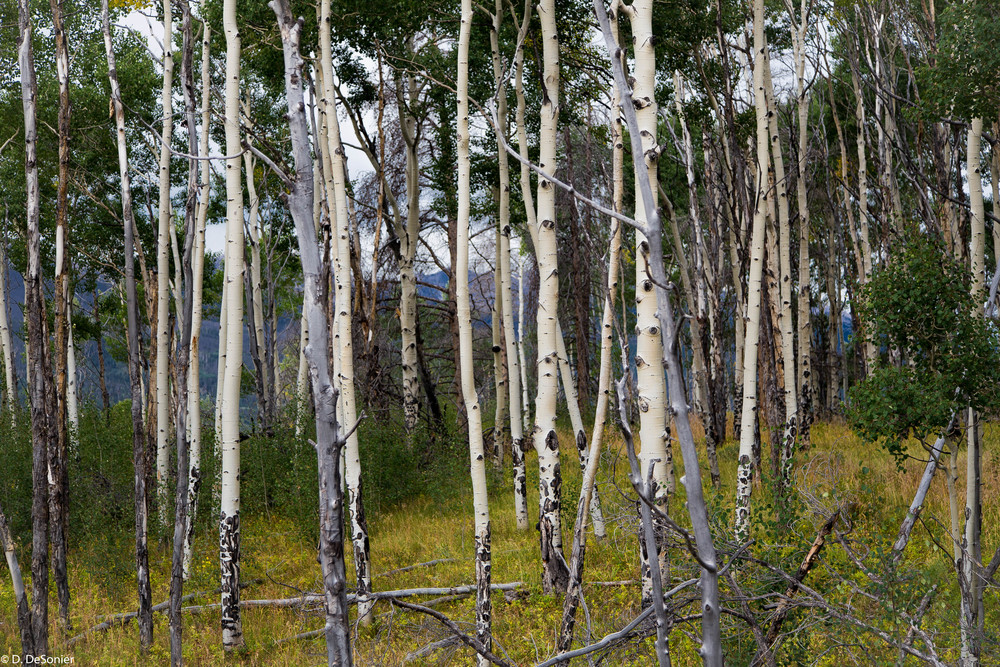 Grove of aspens.
