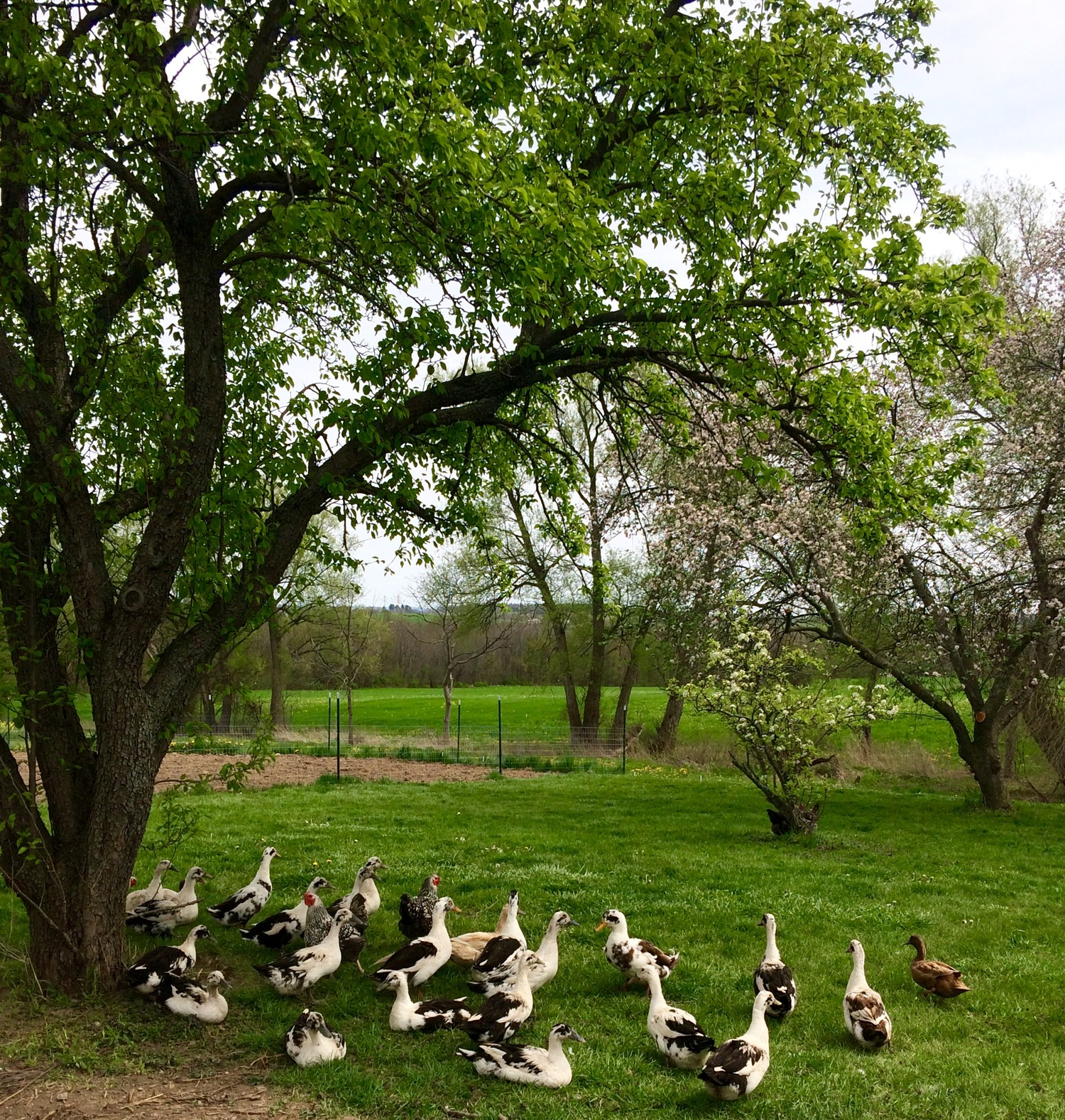 spotted duck creamery