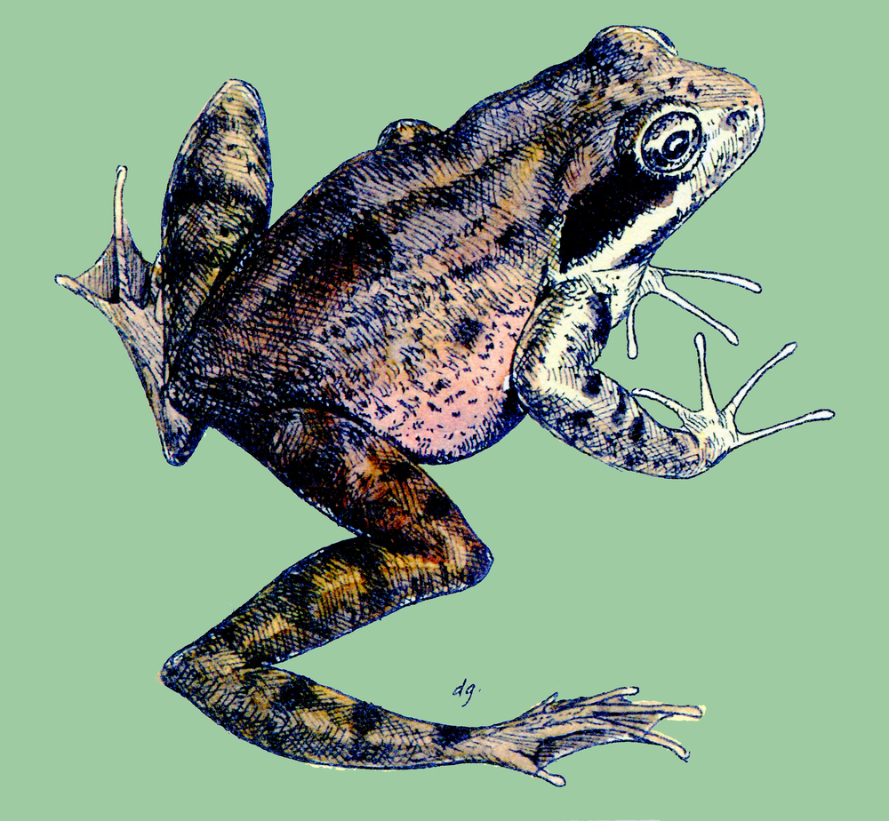 red legged frog-adj-green.jpg
