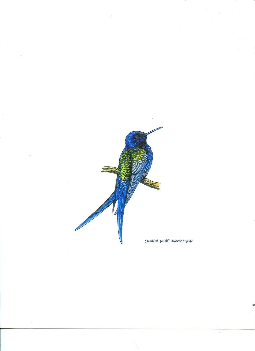 humming bird 1288.jpg