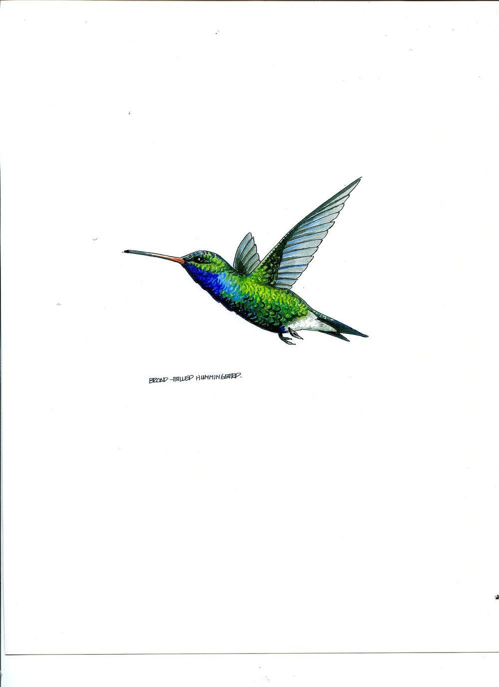 humming bird 4291.jpg