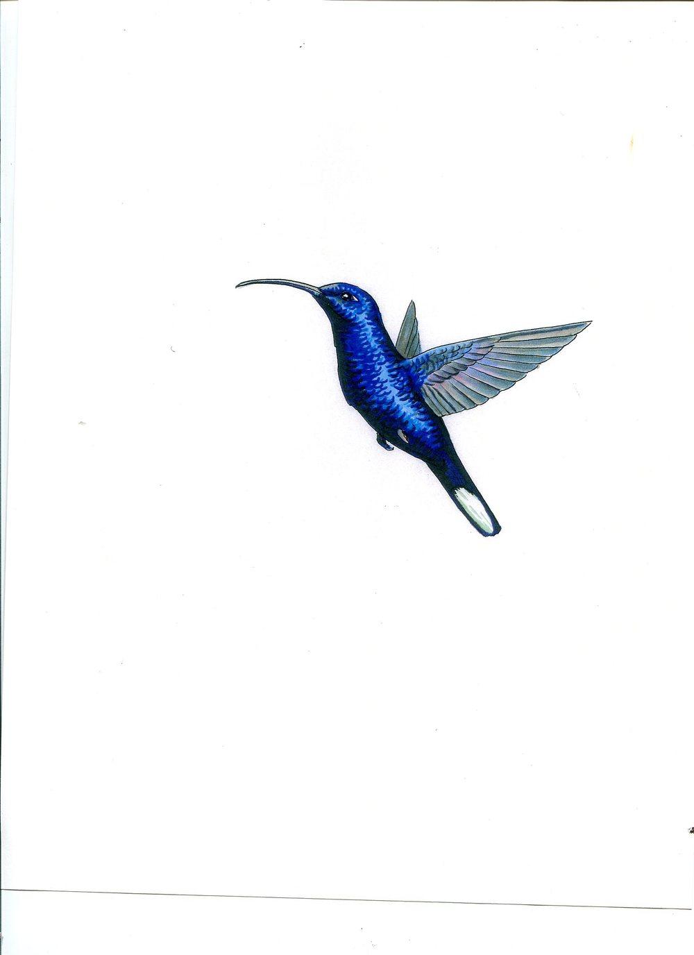 humming bird 6293.jpg