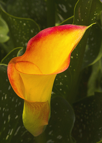 Calla Lily II, Ralph Stromquist. All rights reserved.