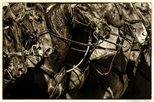 Horses, by Richard Armstrong. All rights reserved.