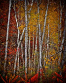 Hwy B Birches, by Kathy Sletten. All rights reserved.