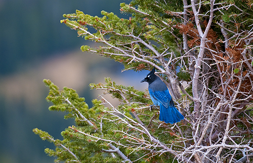 Stellar's Jay, Rocky Mountain National Park, by Bruce Fritz. All rights reserved.