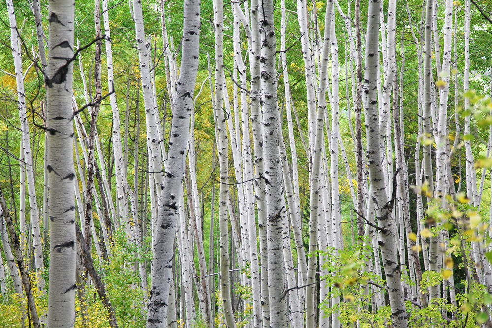 Aspen, by Tim Connor. All rights reserved.