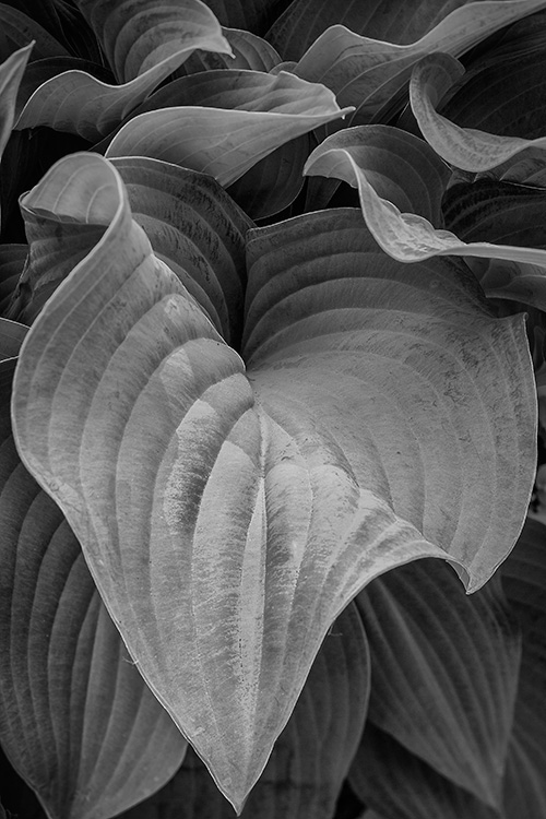 Hostas #1, by James Thornbery. All rights reserved.