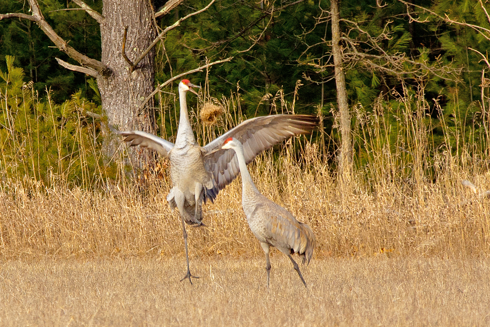 Dancing Cranes, by Jane Wegenke. All rights reserved.