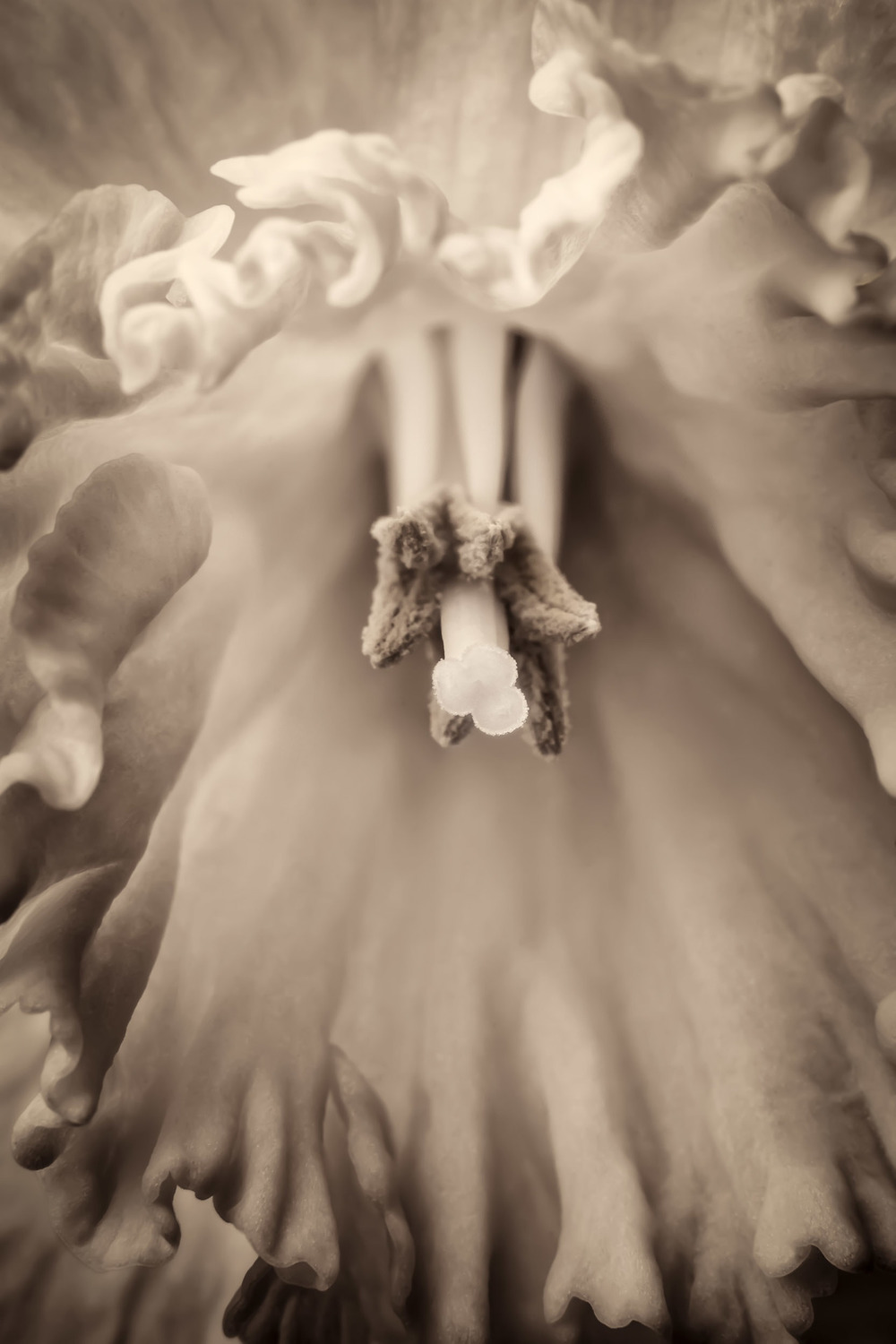 Daffodil, by David Perry Lawrence. All rights reserved.