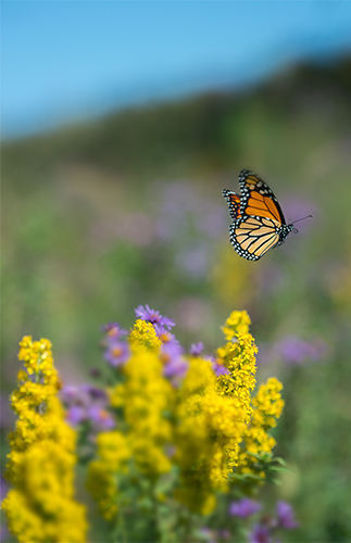 Flight of the Monarch, by Ann Thering. All rights reserved.