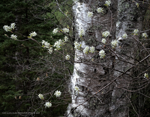 Birch and Serviceberry, by Tim Mulcahy. All rights reserved.