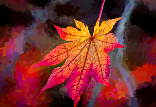 Maple Leaf, by Tom Klingele. All rights reserved.