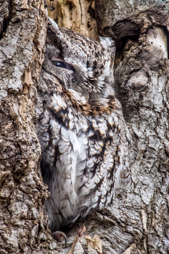 Little Screech Owl Hiding In Its Camouflage, by Bob Jaeger.