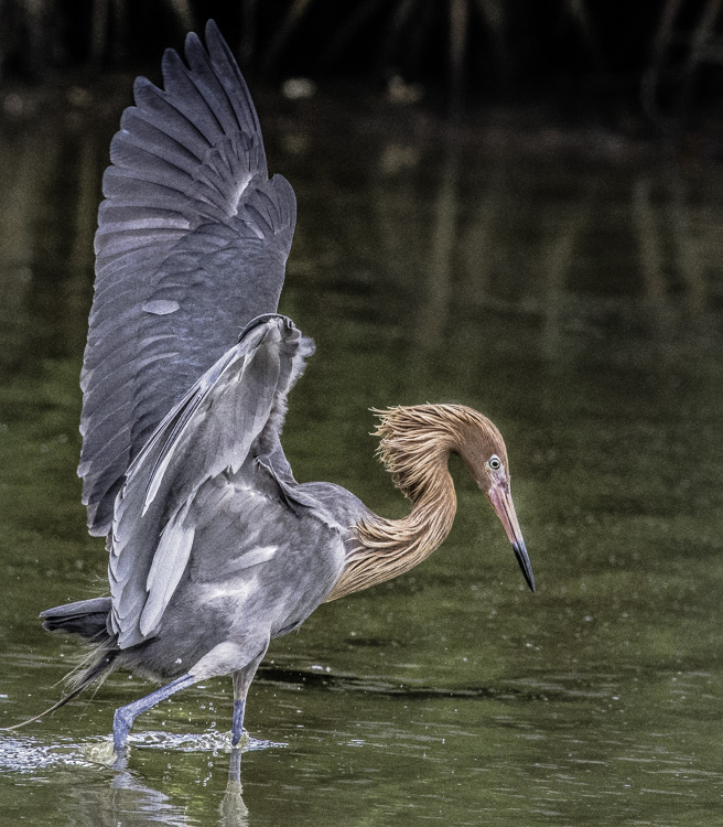 Reddish Egret, by John Wright. All rights reserved.