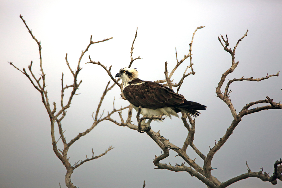 Osprey, by Michael Engelberger. All rights reserved.